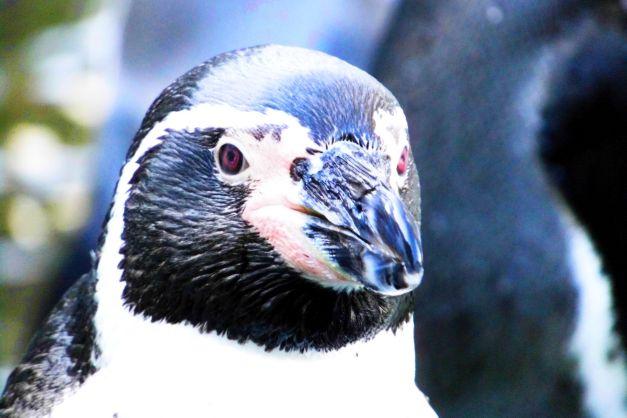 Pinguin, Hamburg Hagenbeck